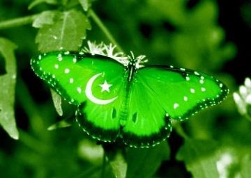 Pakistan Butterfly